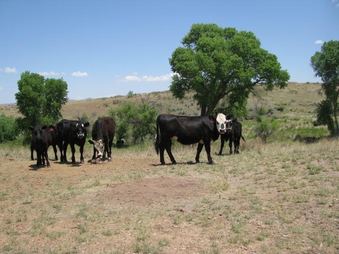 Cattle in America - © Elisabetta Giacon 2014