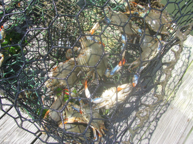 Chesapeake Bay Crabs - All rights incl. electr. Culinary Roots and Recipes 2016